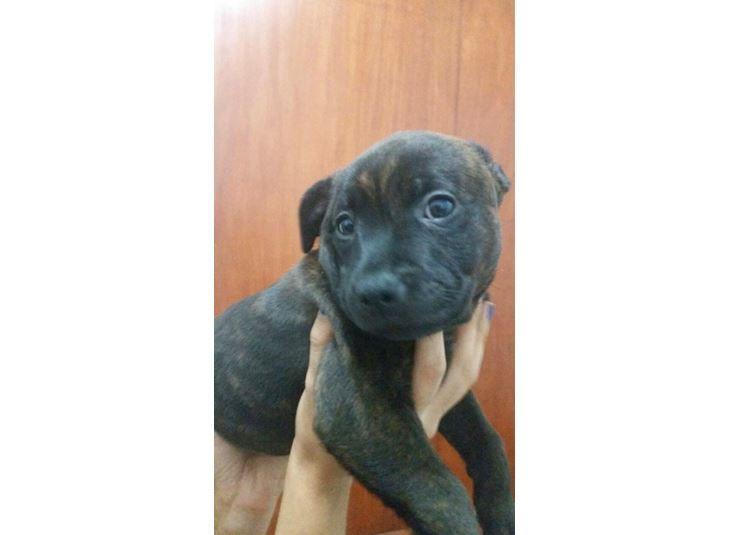 Filhote de Stafforshire Bull Terrier