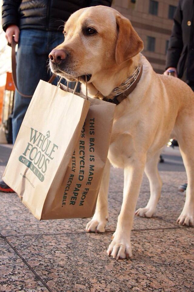 Yellow lab holding a carrier bag in his mouth
