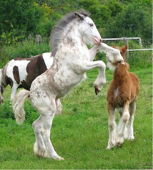 horse / gypsy vanner filly