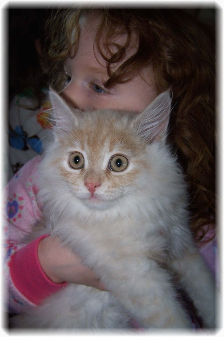41 best siberian cat images on pinterest siberian cat baby cat siberian kitten available for sale geenschuldenfo Images