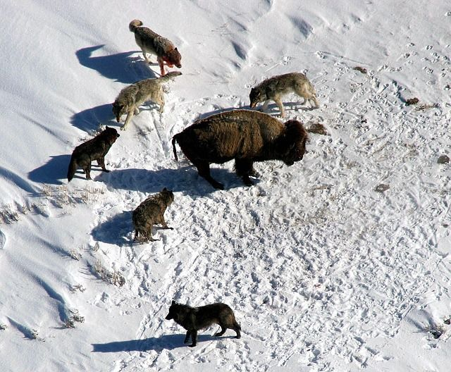 Wolves steer clear of prey that fights back - like the bison!