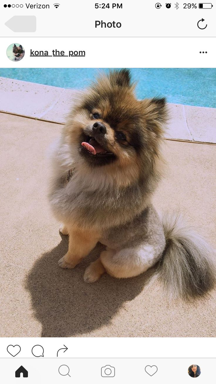 lion pomeranian best 25 pomeranian haircut ideas on pinterest 1744