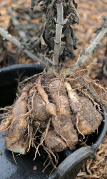 Yacon - a perennial tuber from south America which looks like a potato, grows like a Jerusalem artichoke, and tastes a bit like a pear