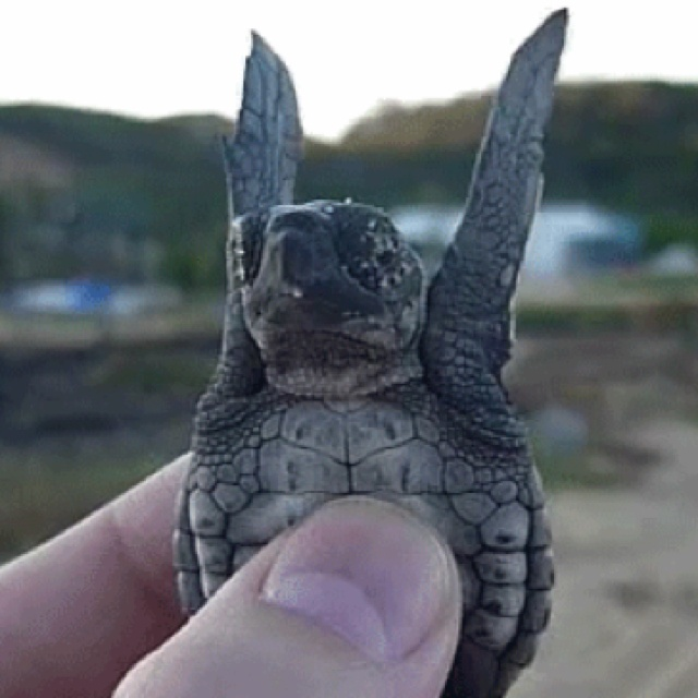 Hands up!Hands, Fly, Funny, Adorable, Things, Gif, Baby Turtles, Baby Sea Turtles, Animal
