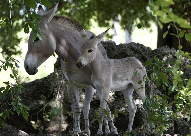 #TwitterCritter - The West Australian: Mmmmm: a pair of wild asses...