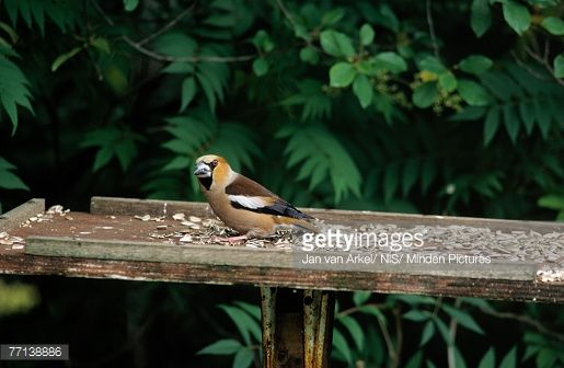 Stock Photo Hawfinch Coccothraustes Coccothraustes