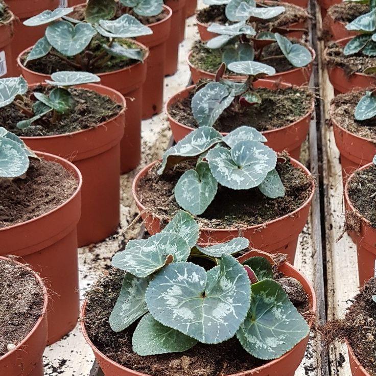 Nu växer cyklamen sig stora i våra växthus. Sakta och säkert... 🌱🌱🌱#lillahults #hosossblirnärodlatstort #gjordmedkärlek