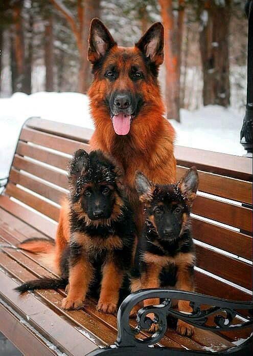 Omg an Amber GSD & her pups!