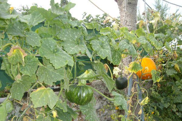 Courge grimpante, astuce jardinage en permaculture