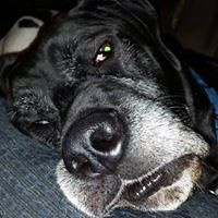 Robb's Great Dane Linkin just chilling out