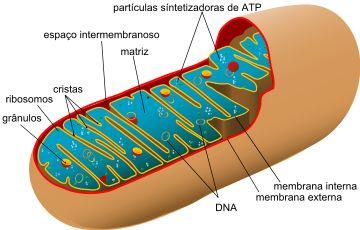 Mitocôndrias - Só Biologia                                                                                                                                                                                 Mais