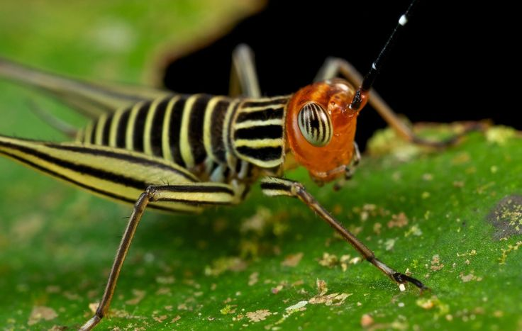 Striped cricket from Gunung Leuser national park, Indonesia.