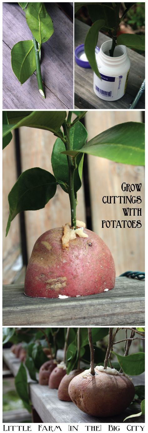 experiment with growing citrus cuttings using potatoes