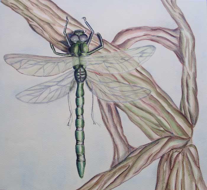 Anisoptera