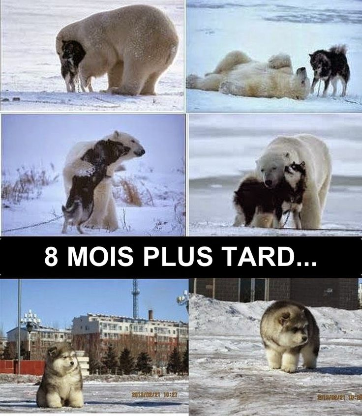 Les 25 meilleures id es concernant ours dr les sur pinterest photos d 39 a - Croisement chien insolite ...