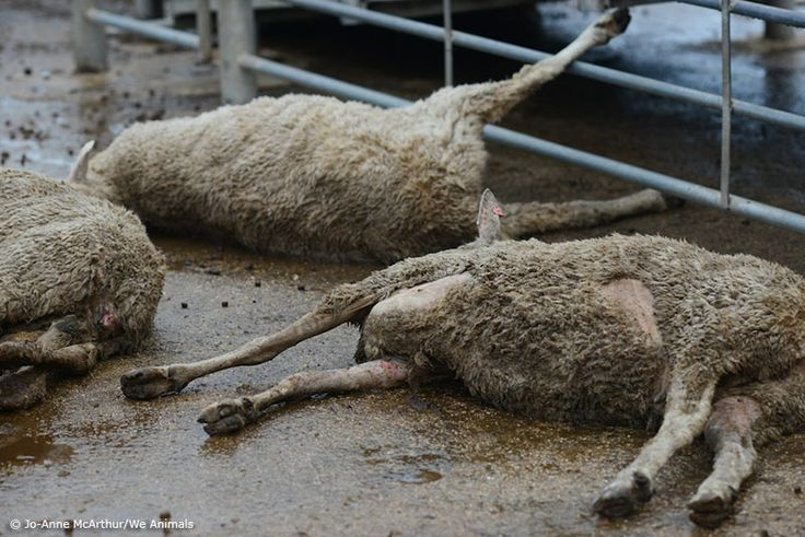 This is the life of an Australian sheep in the wool trade.  When they're young, the sheep have holes punched in their ears, their tails are chopped off, and the males are castrated.