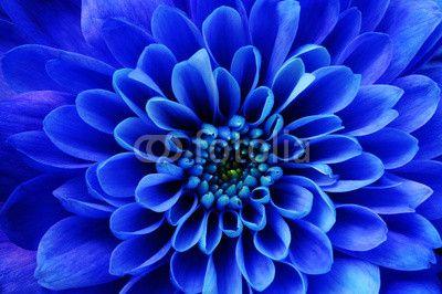 Macro of blue flower aster© fullempty