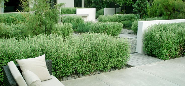 Corokia hedging in this coastal New Zealand garden//Moorhead and Newdick Landscape Architects Wellington