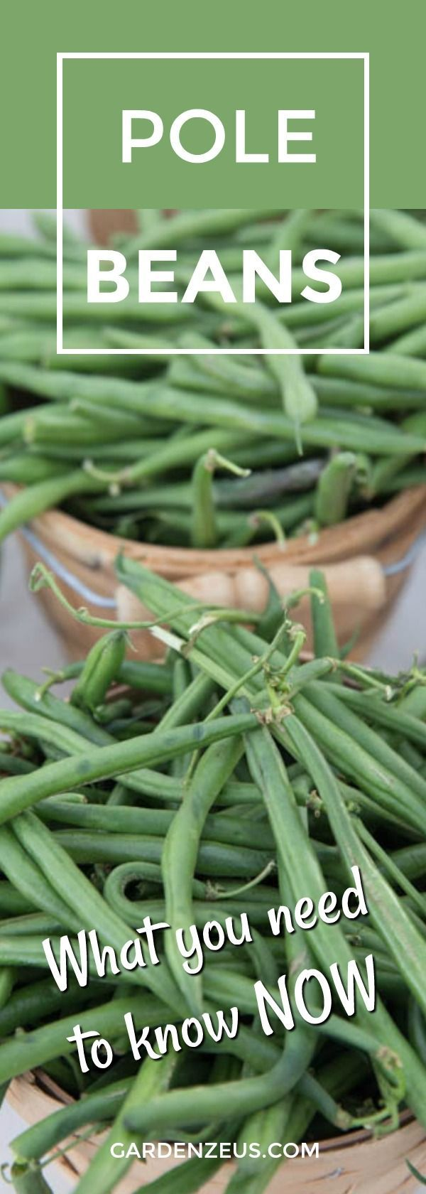 How To Grow Green Beans Your Family Will Beg For Growing Green Beans Plants Companion Planting