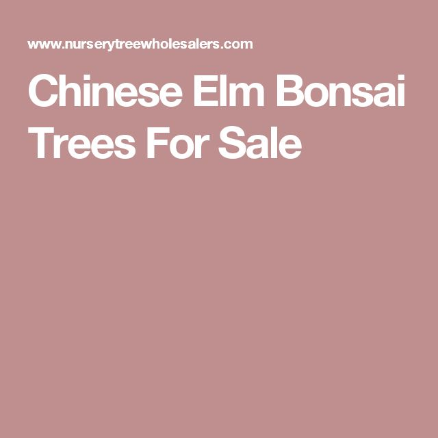 Chinese Elm Bonsai Trees For Sale