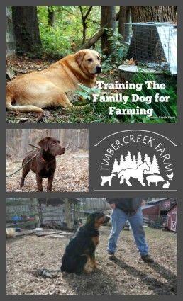 Training the family dog for farming.