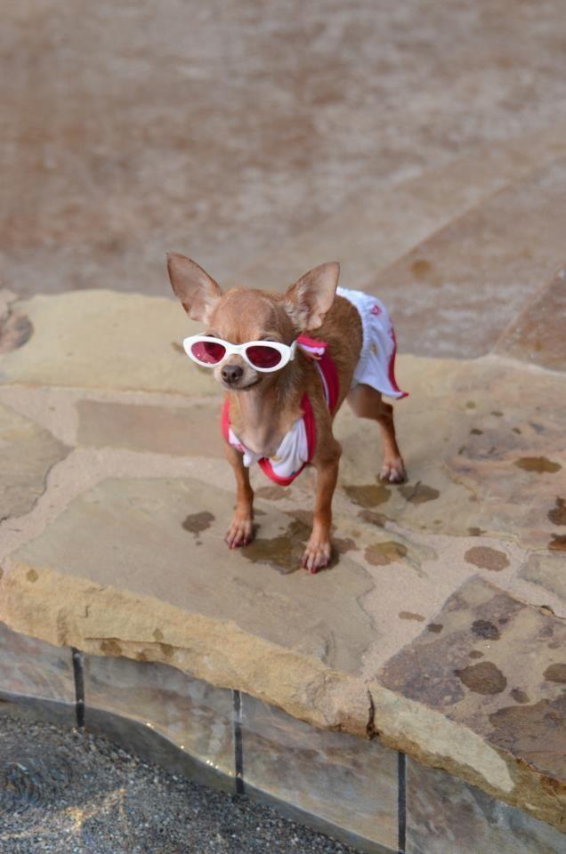 смешные фото с собакой чихуахуа рукодельницы