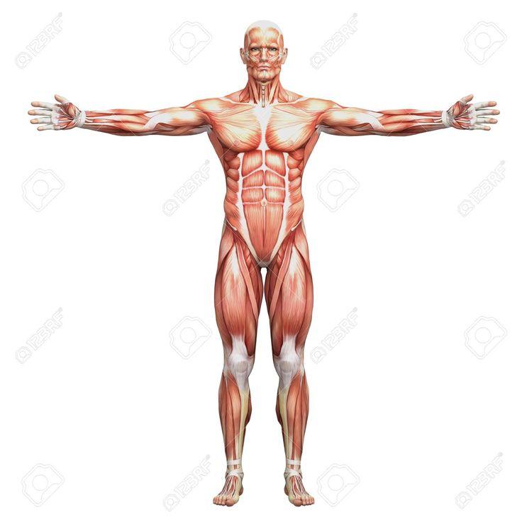 38 mejores imágenes de Anatomía | Musculos en Pinterest | Anatomía ...