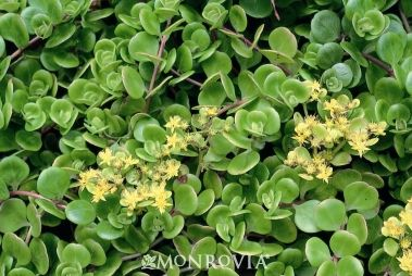 Chinese Stonecrop (Sedum tetractinum) - Monrovia - Chinese Stonecrop (Sedum tetractinum): Yellow Flowers, Chinese Stonecrop, The Rocks, Full Sun, Step Stones, Rocks Gardens Plants, Plants Profile, Chine Sedum, Sedum Tetractinum