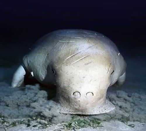 """Dugong- This marine mammal is also called as """"sea cow"""" because it loves to graze seagrass meadows. Majority of dugongs can be seen in Queensland's Moreton Bay and Western Australia's Shark Bay. Their existence is in danger because of their dropping number due to pollution, hunting, and sea grass meadow degradation."""