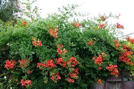 Resultado de imagen de trepadoras de crecimiento rapido con flor