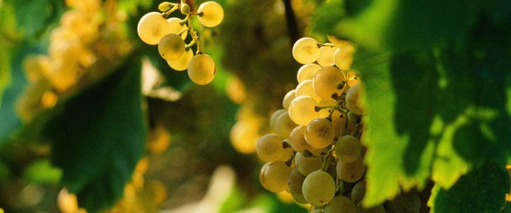 GLERA is the name of the vine variety...
