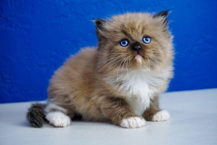 Buy Ragdoll Kitten Seattle