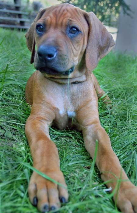 Rhodesian Ridgeback Puppy - I grew up with this breed of dog, best in the world!