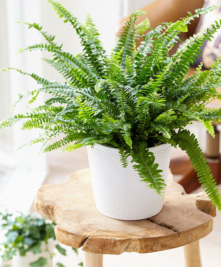 Boston Fern | Specials from Bakker Spalding Garden Company
