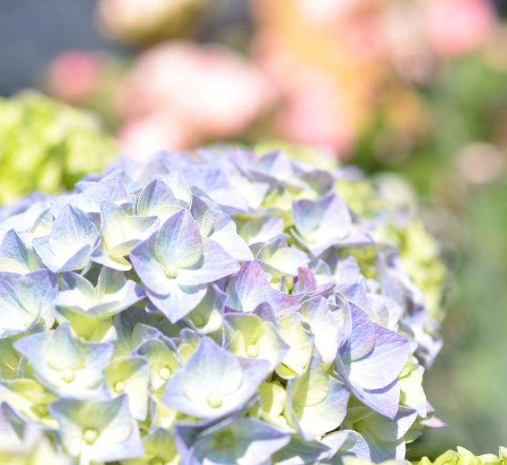 Die besten 25+ Blaue hortensie Ideen auf Pinterest Hortensien