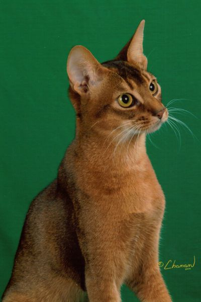 O Abyssinians 34 best images ...