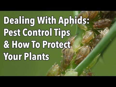 Dealing With Aphids: Pest Control Tips & How To Protect Your Plants - YouTube
