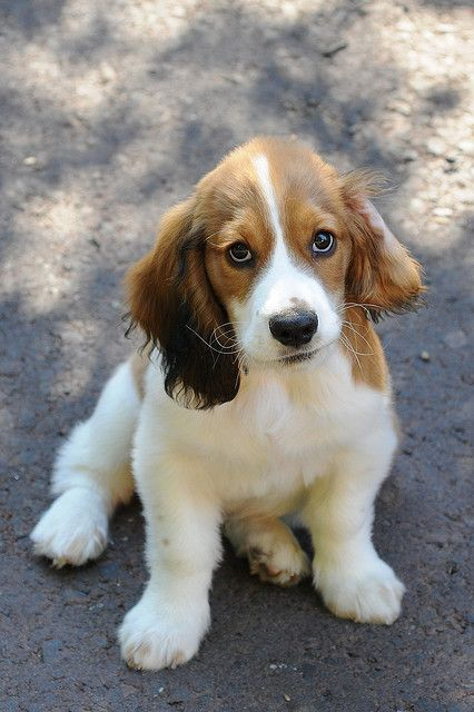 basset / cocker spaniel puppy - best of both worlds (am dying with the cuteness) @The_No_Show