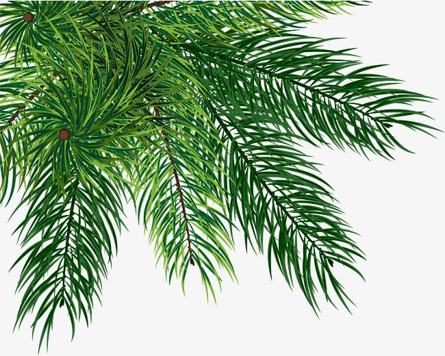 Small Fresh Green Pine Pine Leaf Plant Leaves Leaves Vector