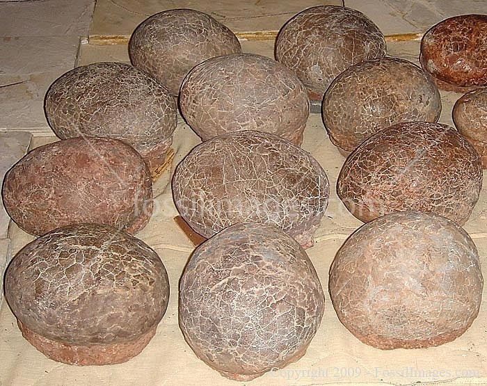 Dinosaur Eggs Fossils. dinosaur eggs come in two shapes: spherical and long ovals. One for plant eaters, one for meat eaters.