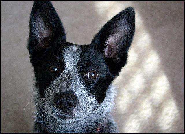 Blue Heeler Border Collie Lab Mix