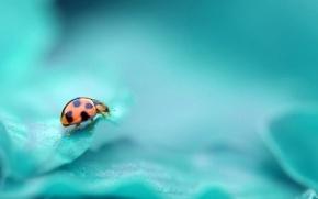 mariquita, insecto, turquesa, Color, fondo