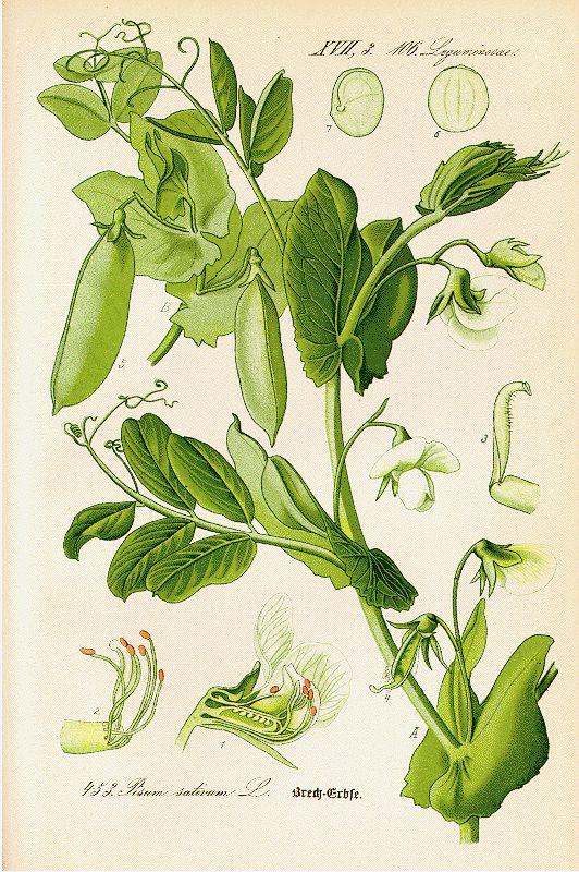 Pisum sativum (Illustration taken from Mendel's book on inheritance).