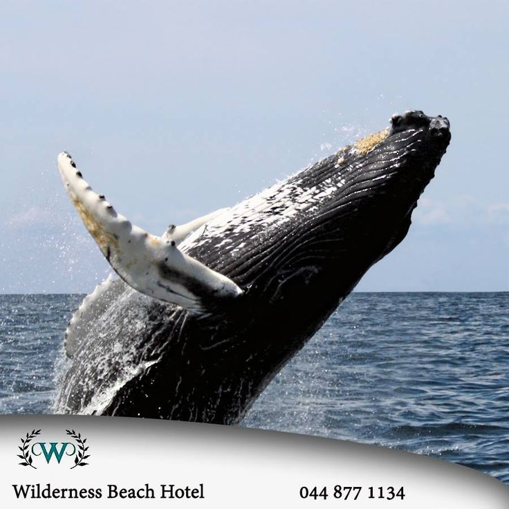 Whale season has returned to the Garden Route and these majestic creatures can be spotted from the shore at various locations in the area. Just another reason to visit Wilderness Beach Hotel this winter. #nature #whales