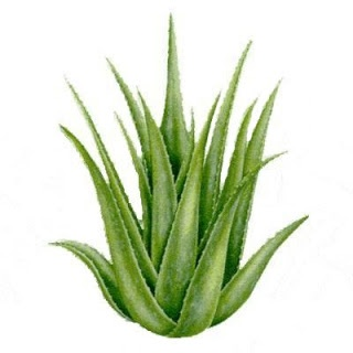 Aloe is known to soothe and cleanse the digestive tract and help improve digestion. It's been a great remedy for people with problems such as irritable bowel syndrome as well as acid reflux. Aloe also helps to decrease the amount of unfriendly bacteria in our gut, keeping a healthy intestinal flora. Aloe is also a vermifuge, which means it helps to rid the body of intestinal worms.