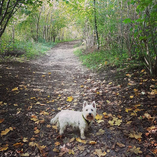 It's actually starting to feel like Autumn... . . . . . . . . #autumn #autumnal #autumn🍁 #fall #walkies🐾 #walkies #igersbrighton #stanmer #stanmerpark #autumnleaves #doglovers #dogsofinstagram #westie #westielove #westhighlandterrier #autu