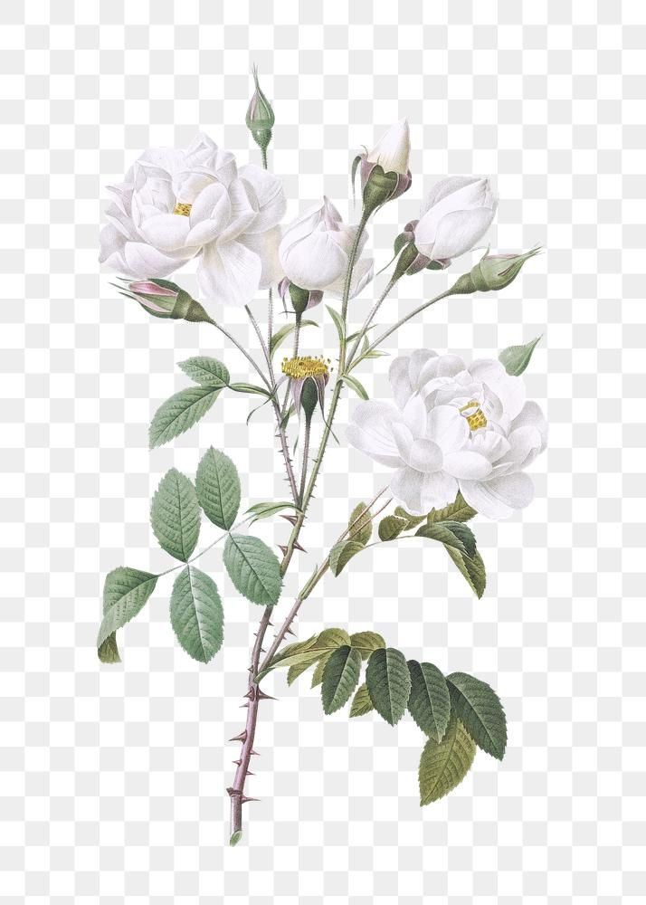 Vintage White Flowers Transparent Png Free Image By Rawpixel Com White Flower Png Flower Png Images White Rose Png