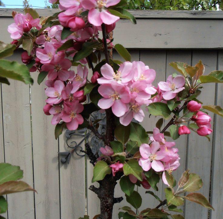 Crapapple ornamental tree - bright pink flowers