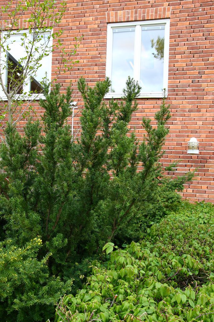 Taxus x media- hybrididegran