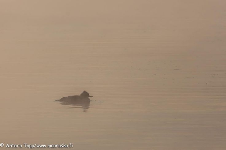 Waterbird in cold and foggy weather. by Antero Topp
